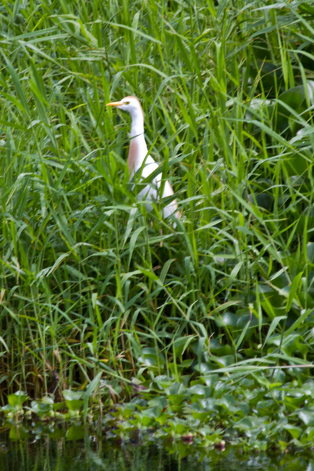 Cattle Egret with brown breeding plumage, Kauai, HI