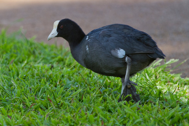 Coot,  Kauai, HI The Hawaiian Coot is a decendent form the American Coot and is endangered on the island.