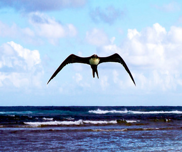 Great Frigatebird,  Kauai, HI