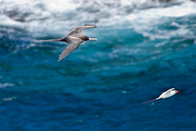 Red-tailed Tropicbird being chased by a Great Frigatebird,  Kauai, HI - The Frigatebird is a Kleptoparasitism - A Thief -  a form of feeding in which one animal takes food from another.