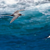 Red-tailed Tropic bird and Great Frigate bird