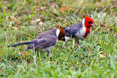 Red-crested Cardinal,  - the juvinal is the brown crested dark billed one on the left, and the adult is the red-createdKauai Is, Hawaii