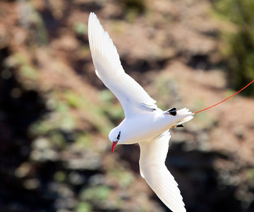 Red-tailed Tropicbird,  Kauai, HI