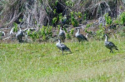 Nene, Hawaiian Goose, Kauai, HI