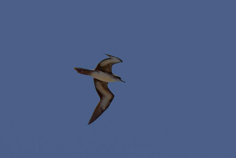 Wedge-tailed Shearwater, Red-tailed Tropicbird,  Kauai, HI