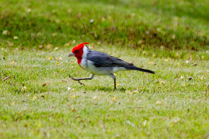 Red-crested Cardinal, Kauai, HI