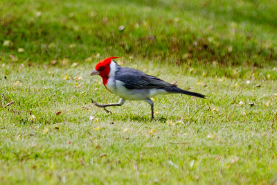 Red-crested Cardinal, Kauai, HI