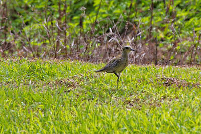 Pacific Golden-Plover,  Kauai, HI... This bird has just arived from Alaska.