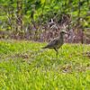 Pacific Golden-Plover,  Kauai, HI... This bird has just arived from Alaska.