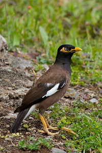 Myna bird,   Kauai, HI