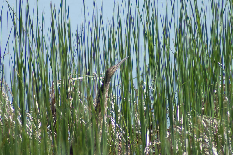 Birdwatching a Bittern hunting