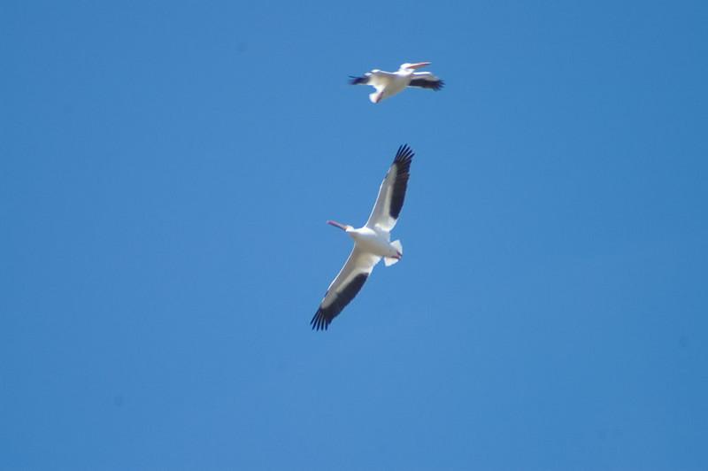 Birdwatching Pelicans circling