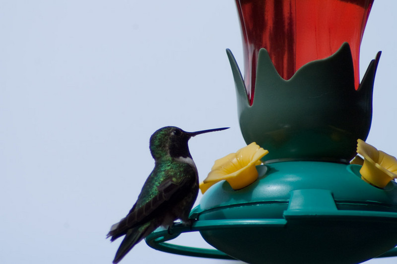 First Hummingbirds 2010