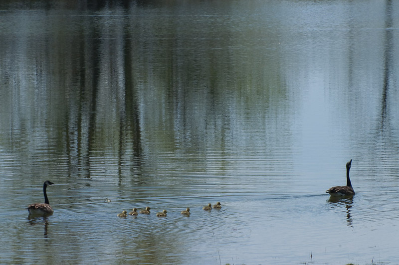 Birdwatching Canada Geese and ducklings