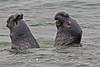 Elephant Seals - Point Piedras Blancas