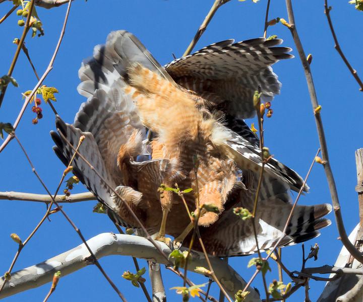 Red-shouldered Hawk, Tucker Wildlife, CA - Hawks are mating.