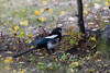 Black-billed Magpie, Denali Alaska