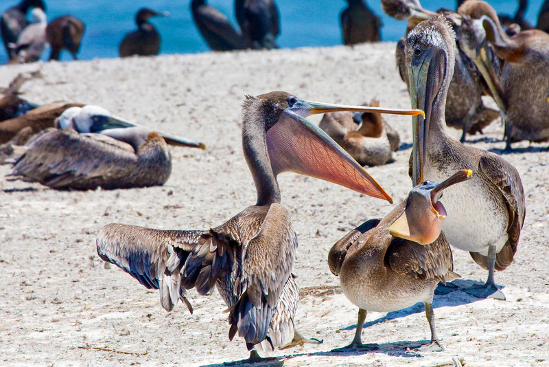 Brown Pelicans, Shell Beach, CA