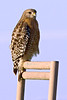 Red-shouldered Hawk - Moss Landing, CA