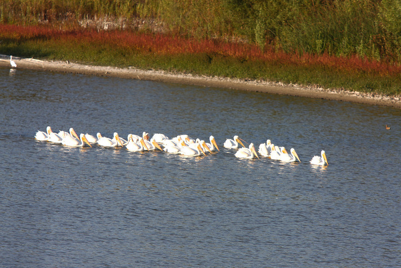 White Pelican, Peters Canyon Regional Park, Orange, CA