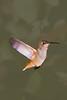 Rufous Hummingbird, Tucker Wildlife, Modjeska Cayon, CA