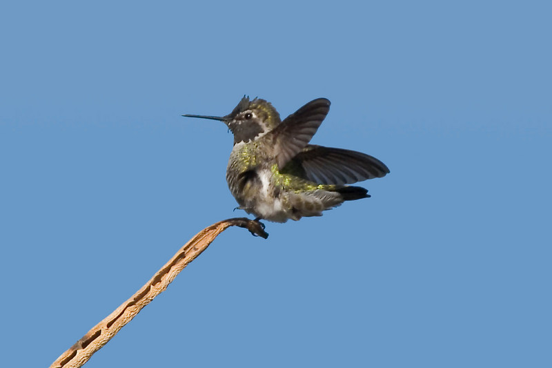 Alan's Hummingbird, Los Angelus Arboretum