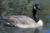 Canada Goose, Los Angeles Arboretum