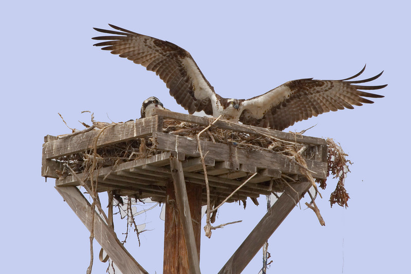 Osprey, Female and babies, Newport Beach Back Bay, Newport Beach CA