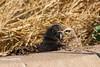 Burroowing Owl, Salton Sea, CA