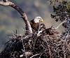 Bald Eagle  San Gabriel Mountains