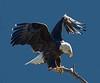 Bald Eagle, San Gabriel Mountains, CA