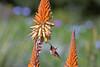 Rufous Hummingbird, Los Angeles, Arboretum