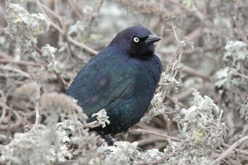 Brewer's Blackbird, Atascadero California