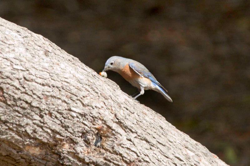 Bluebird, Huntington Beach Ca, Central Park