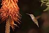 Anna's Hummingbird, Los Angelus Arboretum
