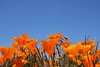 California Poppy fields, Antelope Valley