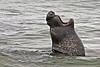 Elephant Seals, Point Piedras Blancas