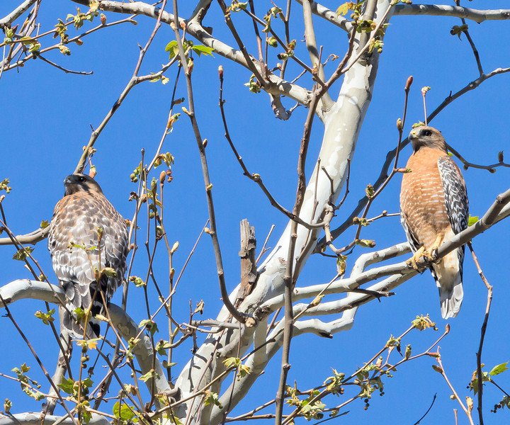 Red-shouldered Hawk, Tucker Wildlife, CA - birds are about to mate.