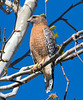 Red-shouldered Hawk, Tucker Wildlife, CA