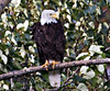 Bald Eagle, Haines, Alaska