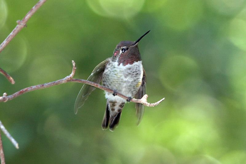 Anna's Hummingbird, Tucker Wild Life Sanctuary,Modjeska Canyon, CA