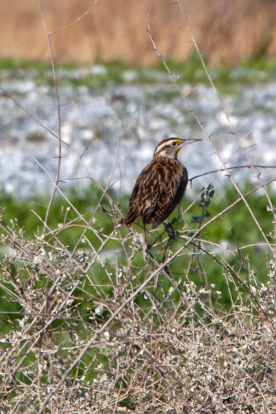 Meadowlark, Pixley, CA