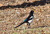 "Yellow-billed Magpie, Lake San Antonio, CA. This picture is also part of the Smithsoiam Migratory Bird Exibit CLICK to See <a href=""http://nationalzoo.si.edu/scbi/migratorybirds/featured_photo/photographer.cfm?photographer=John_Hannan"">http://nationalzoo.si.edu/scbi/migratorybirds/featured_photo/photographer.cfm?photographer=John_Hannan</a> edit"
