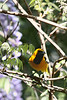 Hooded Oriole, Tuckers wildlife refuge, Modjeska, CA