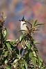 Red-whisker Bulbul, Los Angelus Arboretum