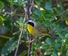 Common Yellowthroat Warbler, Central Park, Huntington Beach California