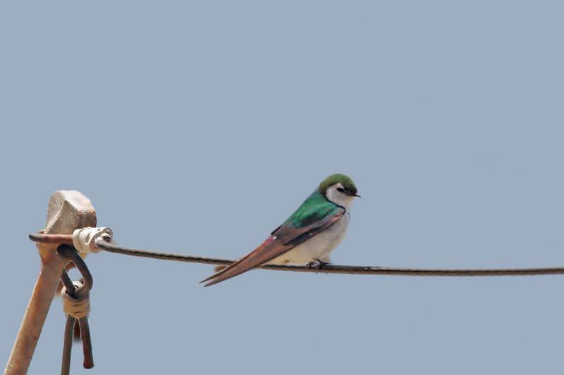 Green Swallow, Monterey, CA