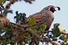 California Quail, Carmal Valley