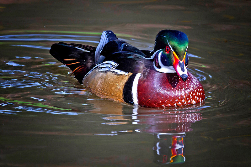 Wood Duck, Los Angelus Arboretum