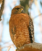 Red-shouldered Hawk - Bolas Chica, Huntington Beach CA